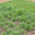 Hall's bentgrass (Agrostis hallii) left, two months after plugs planted.